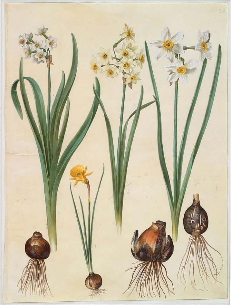Johannes Simon Holtzbecher - Narcissus tazetta