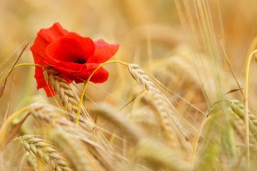 Lughnasadh wheat and poppy