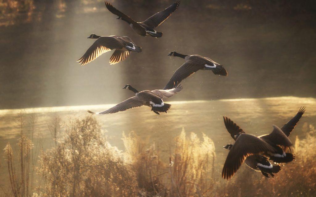 ducks-flock-flying-over-lake-in-sunset-hd