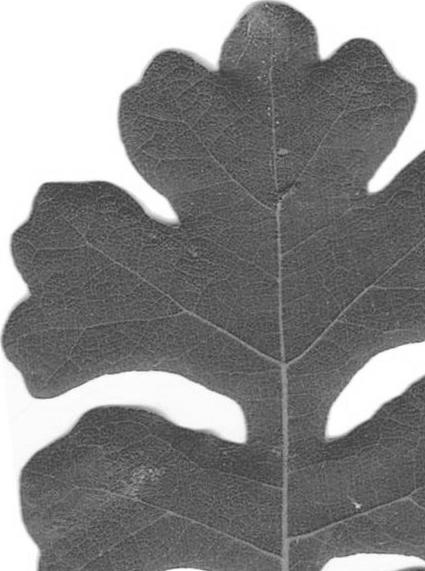 leaf-transp