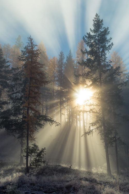 sun rays through pines